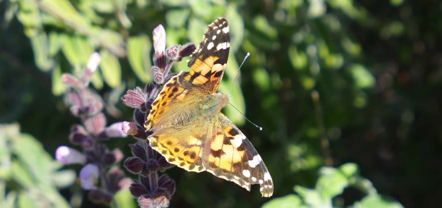 Begleiter unterwegs, Distelfalter (Vanessa cardui; Syn.: Cynthia cardui) auf Salbeiknospen (Salvia fruticosa)