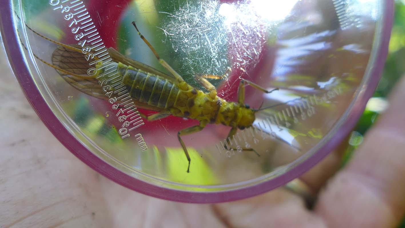 Steinfliege (Plecoptera)