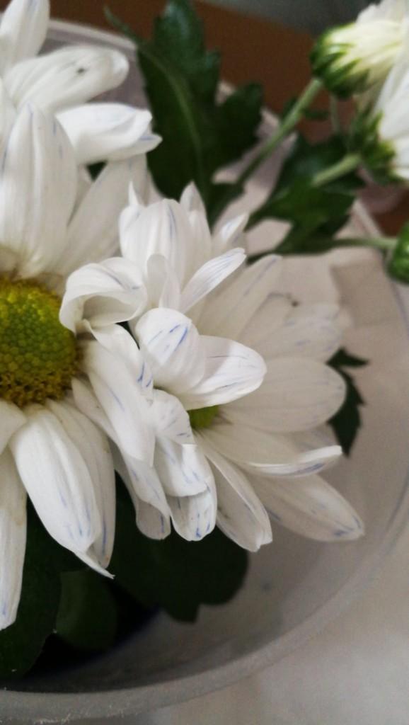 Der Wassertransport in den weißen Blumen wird durch die blauen Einfärbungen (Tinte) sichtbar!